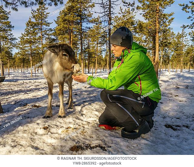 Feeding a young reindeer, Swedish Lapland