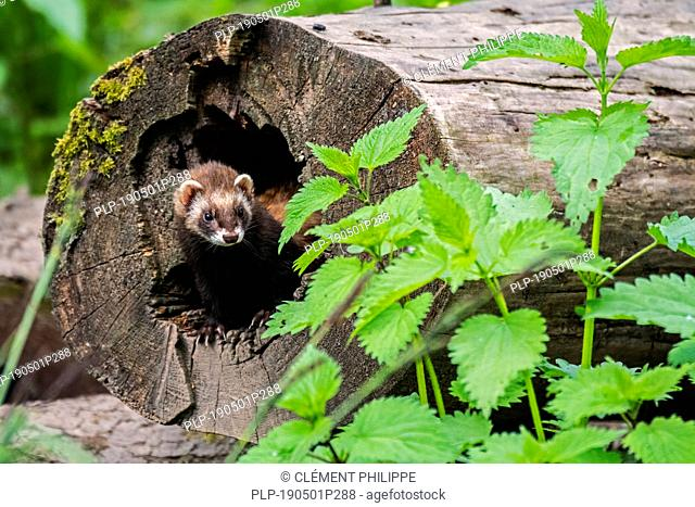 European polecat (Mustela putorius) female emerging from nest in hollow tree trunk in forest
