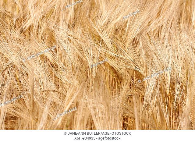 Wheat Field in England Early Summer-fine art photography © Jane-Ann Butler Photography JABP554 RIGHTS MANAGED