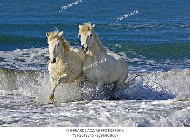 Camargue Horse, Pair on the Beach, Saintes Maries de la Mer in the South East of France