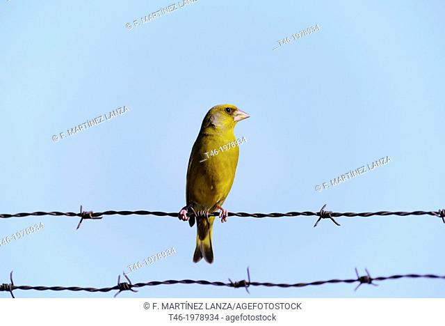The European or greenfinch greenfinch 2 Carduelis chloris is a small songbird of the order Passeriformes and the family Fringillidae like finches