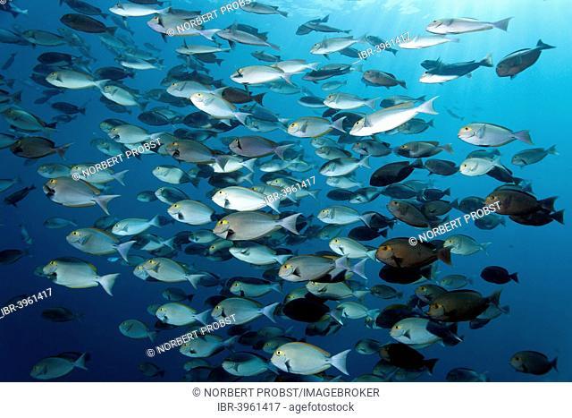 School of Elongate Surgeonfish (Acanthurus mata), Indian Ocean, Embudu, South Malé Atoll, Maldives