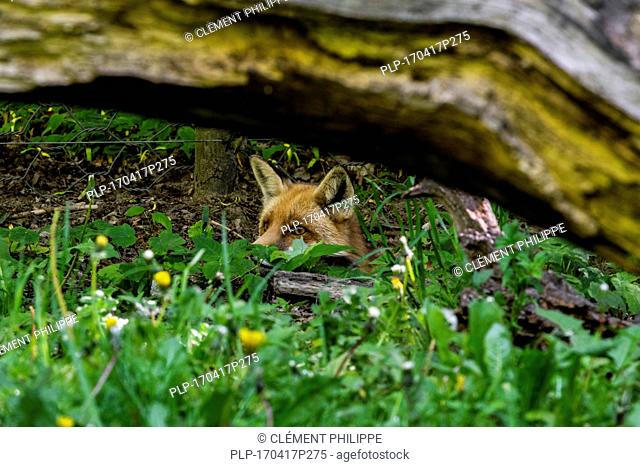 Hunting red fox (Vulpes vulpes) digging under chicken wire fence and stalking prey
