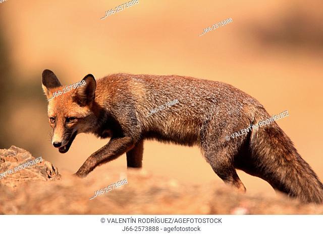 fox (Vulpes vulpes) in Sierra Morena. Córdoba