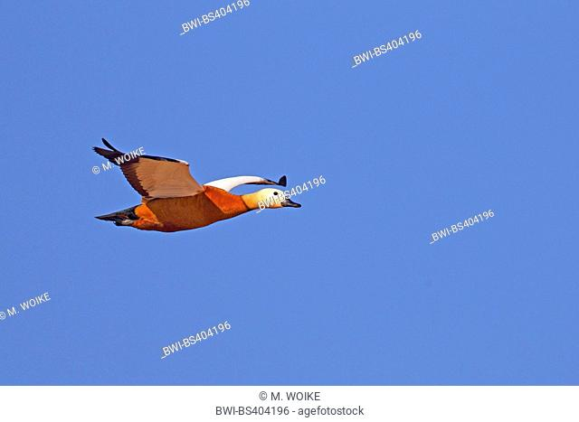 ruddy shelduck (Tadorna ferruginea, Casarca ferruginea), flying male, Canary Islands, Fuerteventura