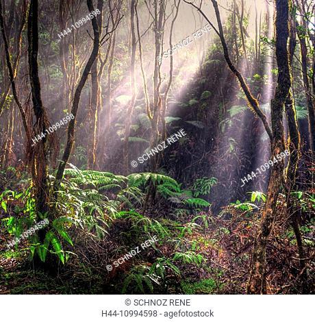 Hawaii, rain forest, sunrays, jungle, tropical, Kauai, Pihea Trail, lianas, vegetation, fern, Mystical, mood, USA