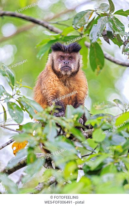 Brazil, Mato Grosso, Mato Grosso do Sul, capuchin monkey (Cebus) sitting on branch