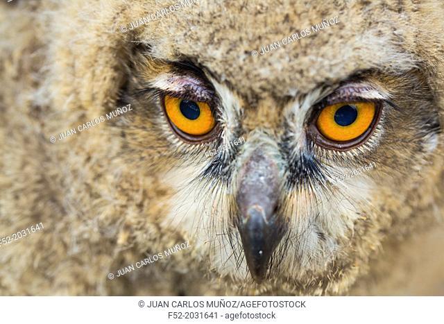Eurasian Eagle-Owl (Bubo bubo), Saja Natural Park, Cantabria, Spain