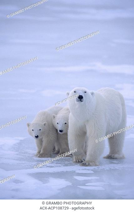 Polar bear mother and 2 cubs Ursus maritimus Near Churchill, Manitoba, Canada