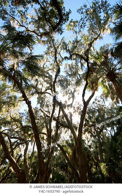 Looking up at tree tops in Myakka River State Park, Florida