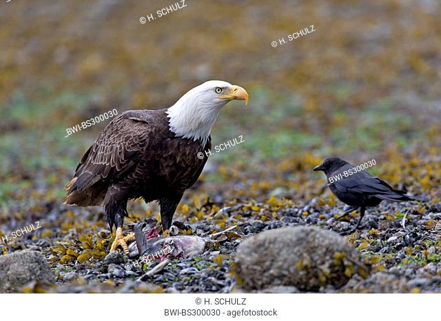 American bald eagle (Haliaeetus leucocephalus), with prey and Northwestern Crow on the ground , USA, Alaska, Tongass National Forest