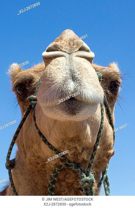 Phoenix, Arizona - A dromedary camel at the Maricopa County Fair
