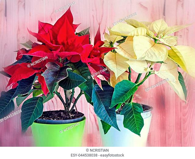 The poinsettia yellow and red flowers (Euphorbia pulcherrima), The Flower of the Christmas, blurred wooden background