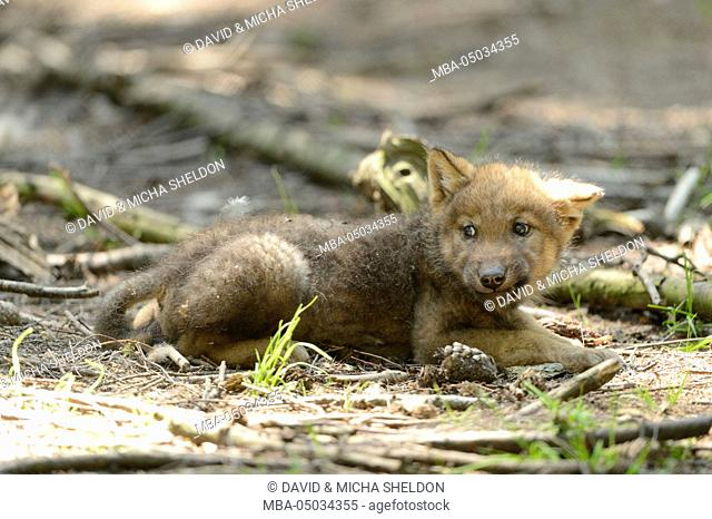 Eurasian wolf, Canis lupus lupus, young animal, side view, lying, looking at camera