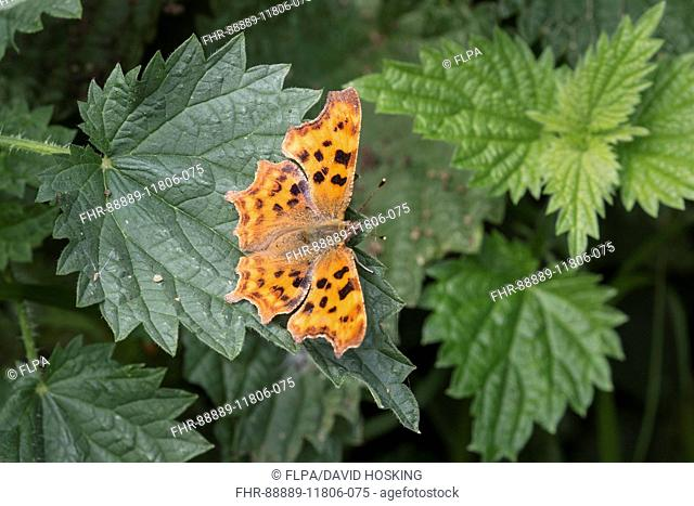 Comma butterfly on stringing nettle leave