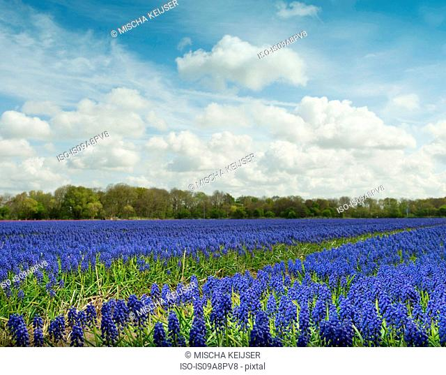Purple hyacinth field, Egmond, Netherlands