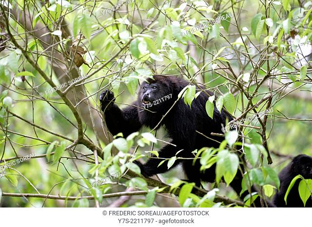 Black howler monkey in Guatemala, Central America