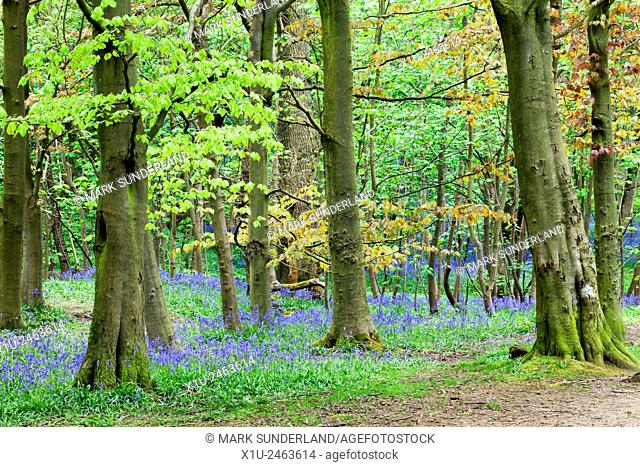 Bluebells and Spring Foliage in Middleton Woods Ilkley West Yorkshire England