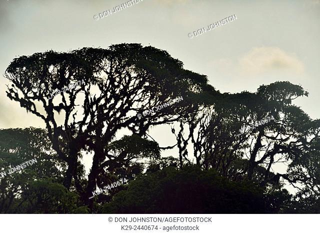 Scalesia trees near the Twin Craters, Galapagos Islands National Park, Santa Cruz, Ecuador
