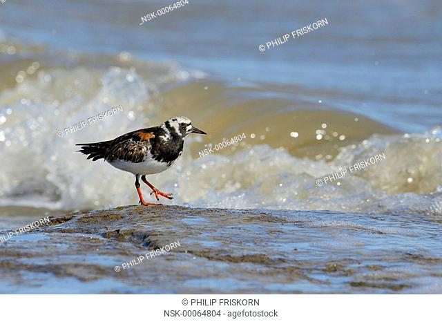 Turnstone (Arenaria interpres) on sandbank in Waddensea, southcoast of Terschelling, The Netherlands, Friesland, Terschelling