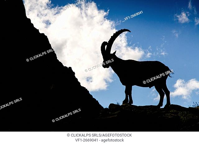 Ibex in silhouette (Pò Valley, Piedmont, Italy)