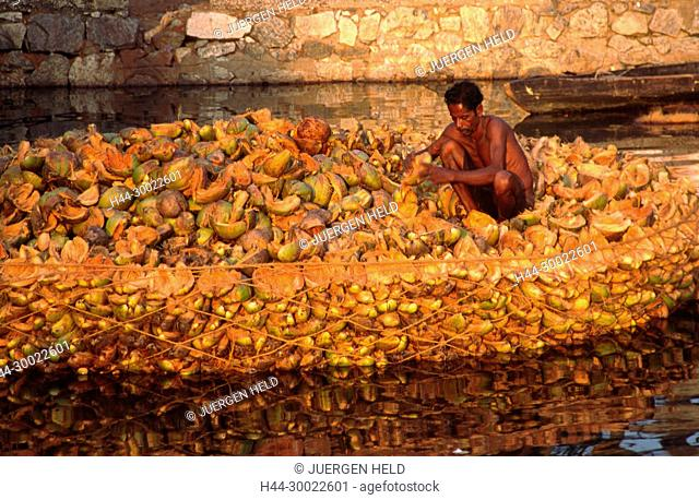 India Kerala indian man sorting dryed coconuts in the backwaters