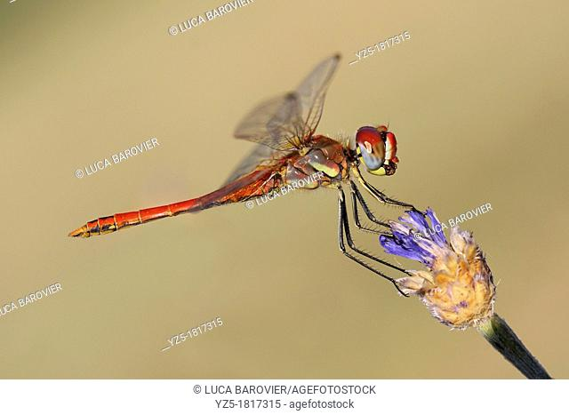 Scarlet Dragonfly, Crocothemis erythraea, male - Italy