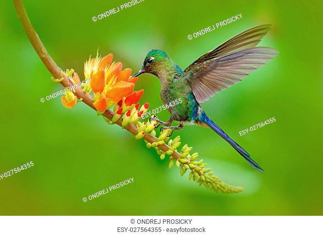 Hummingbird Long-tailed Sylph, Aglaiocercus kingi