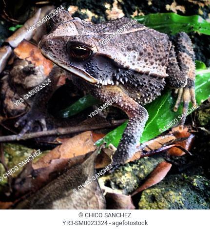 A frog in San Andrés, Petén, Guatemala