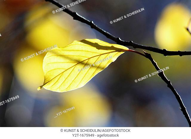 The bright autumn sun lights up a yellow leaf  Vaesternorrland, Sweden