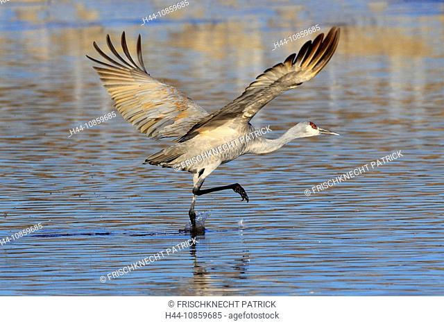 Grus canadensis, Sandhill Crane, Cranes, Birds, Wa