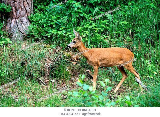 Capreolus capreolus, local animals, endemic animals, spring, nature, cloven-hoofed animal, roe deer, roe deer, narrow roe deer, animals, Trughirsche, wood