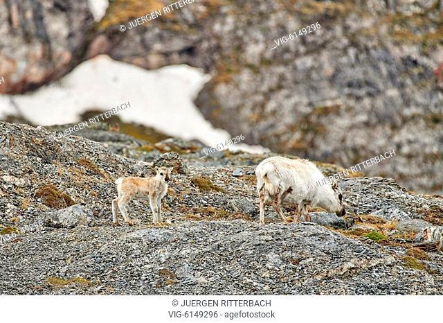 Svalbard reindeer (Rangifer tarandus platyrhynchus), Svalbard or Spitsbergen, Europe - , Svalbard, 24/06/2018