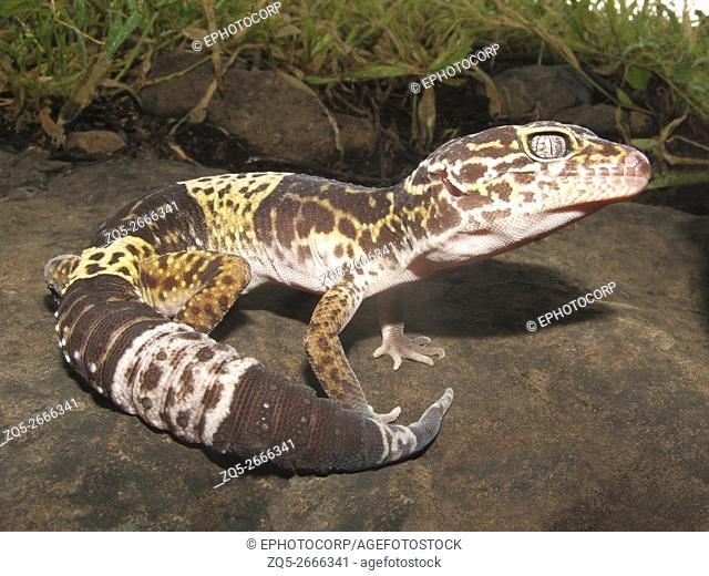 Fat Tail Gecko. Saswad, Maharashtra, India