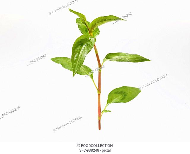 Vietnamese coriander Polygonum odoratum or Persicaria odoratum