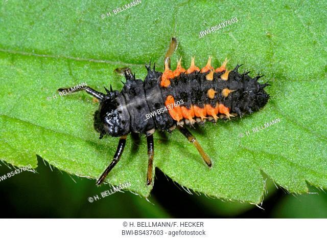 multicoloured Asian beetle (Harmonia axyridis), larva on a leaf, Germany