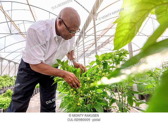 Manager inspecting bell pepper plant in Hydroponic farm in Nevis, West Indies