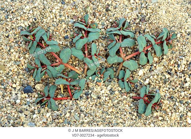 Beach spurge (Chamaesyce peplis or Euphorbia peplis) is an annual prostrate plant native to south and weste Europa, north Africa ans southwestern Asia