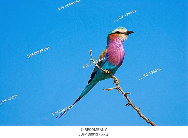 Lilac-breasted roller on twig / Coracias Caudata