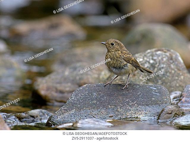 Juvenile Robin-Erithacus rubecula. Uk