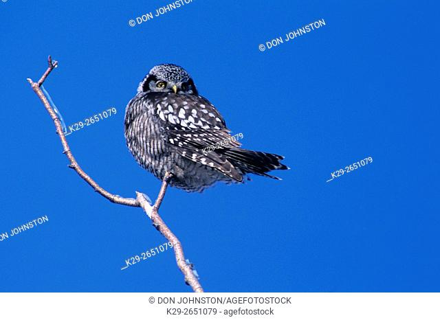 Northern Hawk owl (Surnia ulula) perched in ice-coated tree, Greater Sudbury, Ontario, Canada
