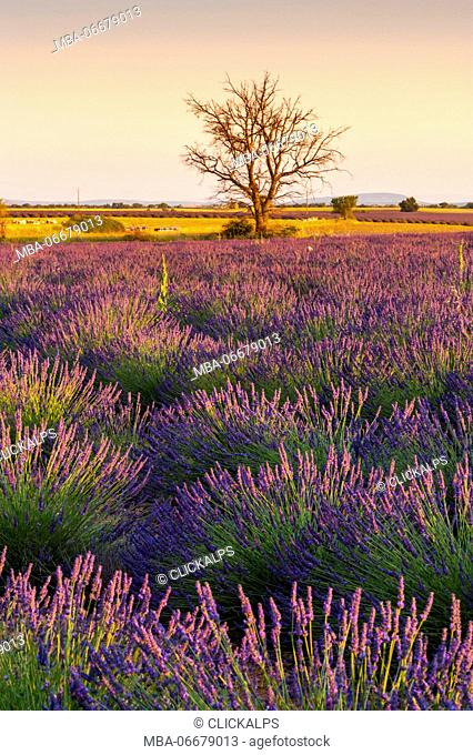 Lavender bushes lighted by the sunset light with a bare tree in the background, Provence, France