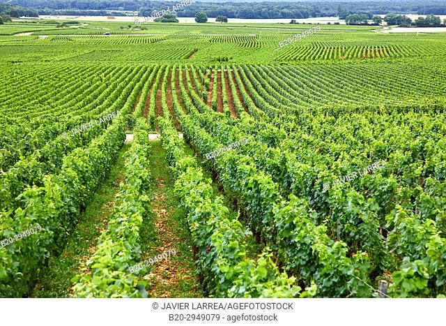 Pinot noir vineyards, Gevrey-Chambertin, Côte de Nuits, Côte d'Or, Burgundy Region, Bourgogne, France, Europe