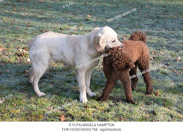Domestic Dog, Golden Retriever, puppy, playing with Poodle in parkland, England, february