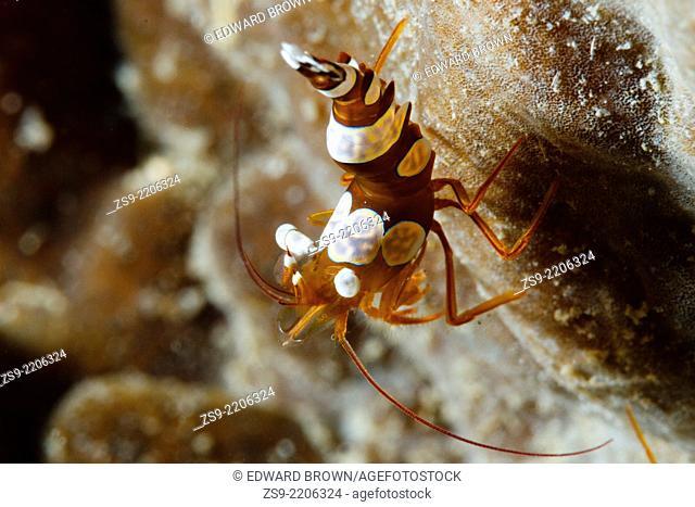 Squat/sexy shrimp (Thor amboinensis) Lembeh Strait, Indonesia