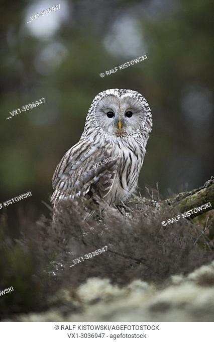 Ural Owl ( Strix uralensis ) sitting on the ground, turning its head, beuatiful big black eyes, natural surrounding