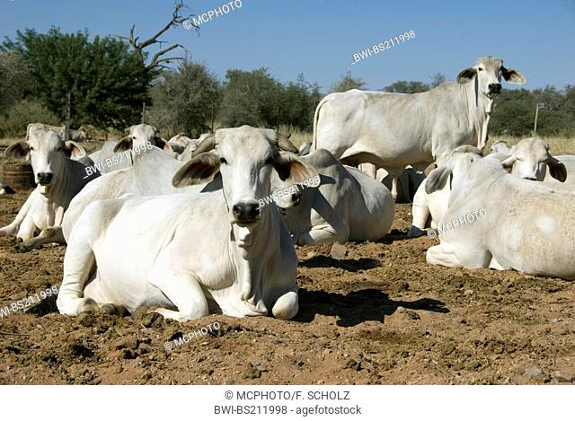 domestic cattle (Bos primigenius f. taurus), white cows resting ruminating, Namibia