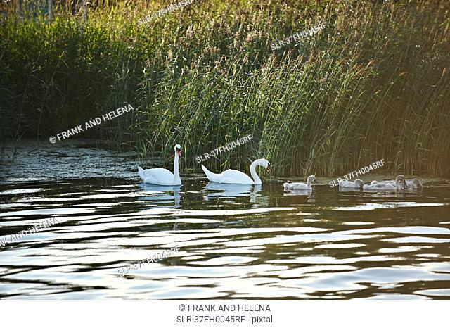 Swans and goslings in still lake