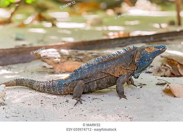 Iguana Island in Panama