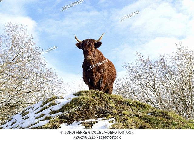 A cow of the Salers breed, Tournemire, Cantal department, France, Europe